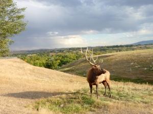 Elk in the Kendrick Park Refuge - Deborah White